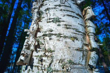 Birch with beautiful bark and moss.