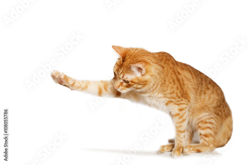 ginger cats with white paws