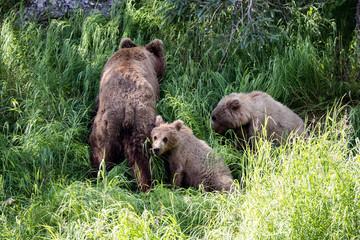 Grizzly bears fishing for salmon, Brooks Falls, Katmai NP, Alask