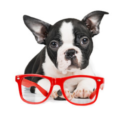 Boston Terrier on a white background with glasses