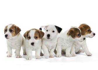 five puppies Jack Russell Terrier isolated on white background