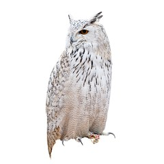 Owl over white background