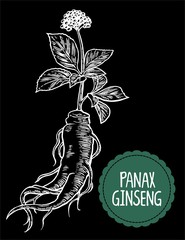 Root and leaves panax ginseng. Vector engraving vintage illustration of medicinal plants. Biological additives are. Healthy lifestyle. For traditional medicine, gardening. Black background.