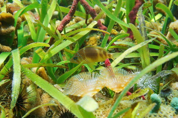 A barred hamlet fish, Hypoplectrus puella, underwater with marine life and  turtlegrass on the seabed, Caribbean sea