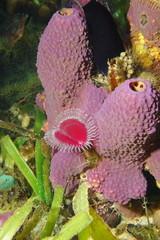 Marine life, branching tube sponge Aiolochroia crassa with a split-crown feather duster worm, Anamobaea oerstedi, Caribbean sea