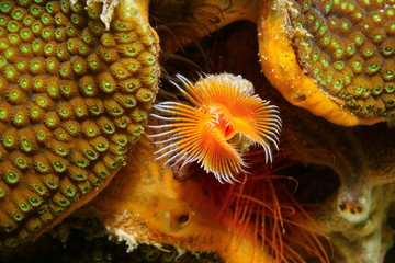 Underwater marine life, a red-spotted horseshoe worm, Protula sp., close to boulder star coral, Caribbean sea