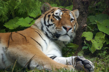 "The tiger Panthera tigris a member of the Felidae family, is the largest of the four ""big cats"" in the genus Panthera. The tiger is native to much of eastern and southern Asia, and is an apex predato"