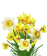 spring flowers narcissuses isolated on white background