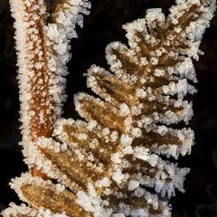 Ice Crystals on Fern via Macro