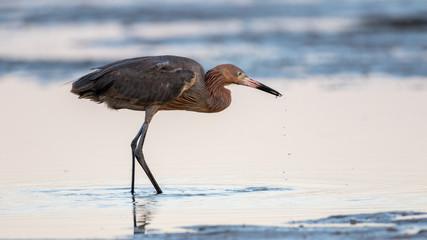 Reddish Egret Foraging, San Carlos Bay, Bunche Beach Preserve, F