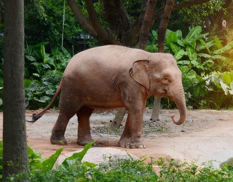 big wild elephant