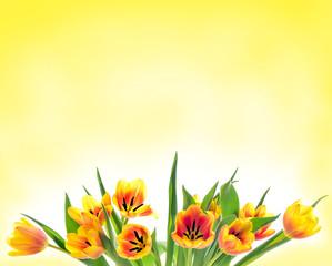 Spring Tulip Flowers Tulips bunch. Orange tulips.