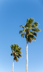 Two Palm Trees on Blue