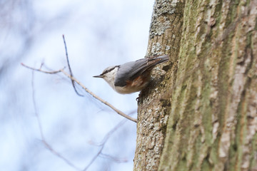Nuthatch sitting on a tree trunk.