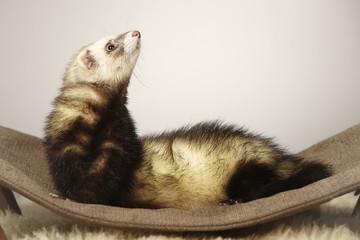 Ferret beauty on sofa