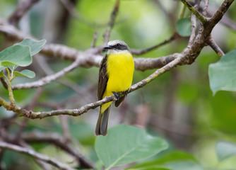 Тропическая птица  (Kingbird )