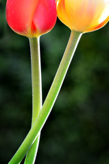 Tulips and Green Stems in Springtime