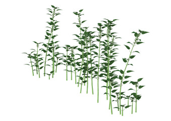 3D Illustration Urtica Dioica or Nettle on White