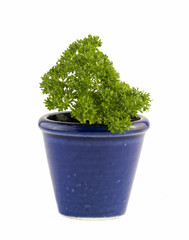 Parsley growing in a blue pot