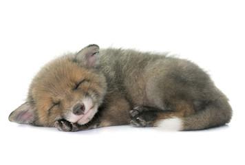 sleeping red fox cub
