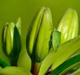 Small green beetle on the flower buds of lily, Nezara viridula