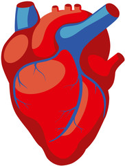 anatomy of the human heart in red color with blue veins