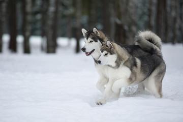 two Alaskan Malamute in the Park