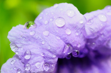 Drops of water on purple flower, Beautiful macro flower with morning dew
