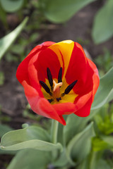 Beautiful red tulip at the garden