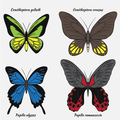 Big realistic collection of colorful butterflies. Ornithoptera croesus and goliath, papilionidae rumanzovia and ulysses, summer flying insects set for greeting cards and  scrapbook.