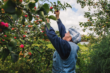 Caucasian farmer picking fruit from tree