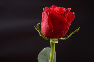 Photo of a red rose on a black background in a studio. Lights an