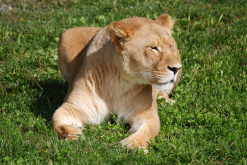 Lion is one of the four big cats in the genus Panthera, and a member of the family Felidae. With some males exceeding 250 kg (550 lb) in weight it is the second-largest living cat after the tiger