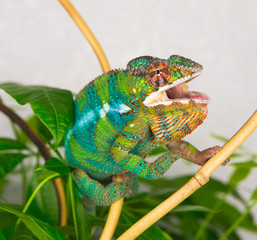 Panther Chameleon sitting on a branch with his mouth open