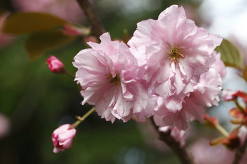 spring blossoms,nature
