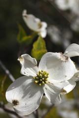Cornus florida L., trees
