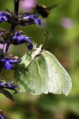 butterfly, animal,