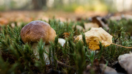 boletus in a sunny forest