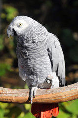The African Grey Parrot (Psittacus erithacus), also known as the Grey Parrot, is a medium-sized parrot found in the primary and secondary rainforest of West and Central Africa.