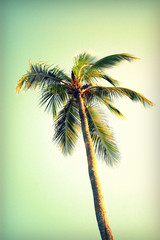 Palm tree at Santa Monica beach. Vintage post processed. Fashion, travel, summer, vacation and tropical beach concep