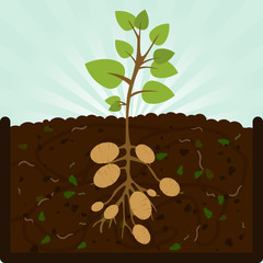 Planting potatoes. Composting process with organic matter, microorganisms and earthworms. Fallen leaves on the ground.