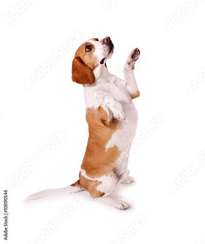 Beagle Hund Macht Männchen Stockfotos Und Lizenzfreie Bilder Auf