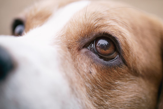 closeup portrait of tricolor beagle dog, focus on the eye