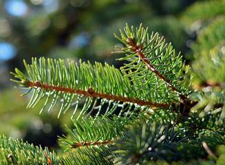 Fir tree twigs closeup