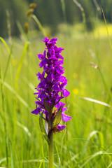Violin Orchid