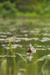 Duck Female on Water Level