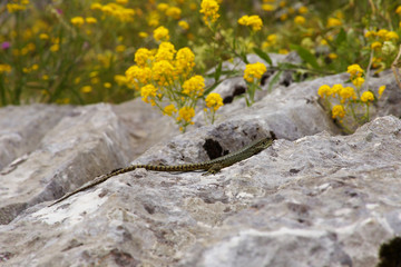 Lizard on the Stone