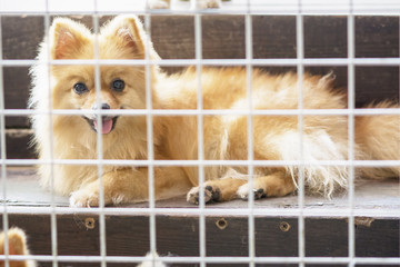 pitiful small body brown pomeranian dog sitting in cage