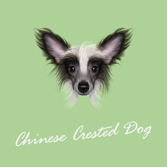 Vector Illustrated portrait of Chinese Crested Dog.