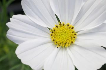 Cosmo photos royalty free images graphics vectors videos cosmoflower mightylinksfo